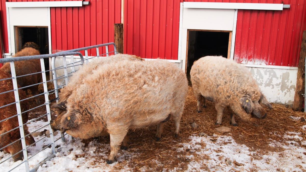 世界で唯一の【食べられる国宝】!?とろける「マンガリッツァ豚」に会ってきた