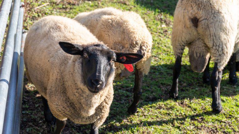 希少肉ホゲットも!絶滅危機だった「南部羊」を未経験の移住者がノリで救った話